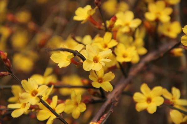 Winterjasmin- Jasminum nudiflorum