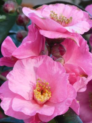Kamelie - Camellia 'Spring Festival'