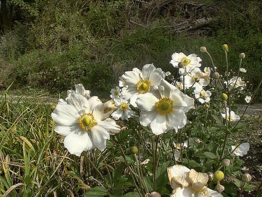 Anemone - japonica 'Honorine Jobert'