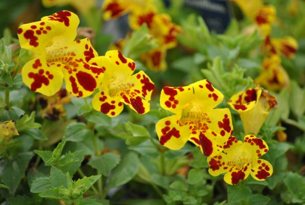 Gauklerblume gefleckt Mimulus luteus Grandiflora