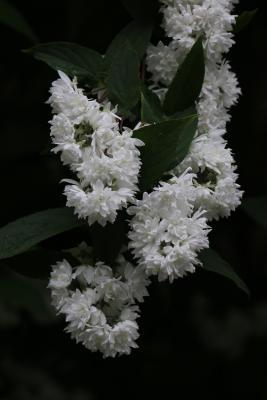 Sternstrauch Yuki Snowflake - Deutzia 'Yuki Snowflake'
