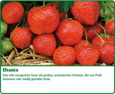 Erdbeerpflanze - 12 Stück  Elsanta® Fragaria ananassa