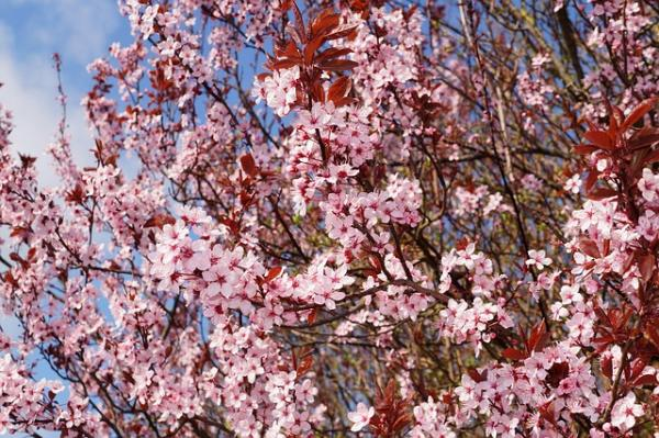 Blutpflaume 'Nigra' Prunus cerasifera