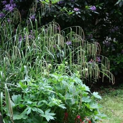 Carex  ( Segge ) - pendula