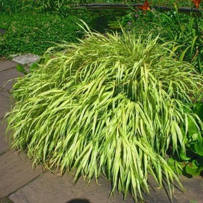 Hakonechloa ( Japangras ) - macra 'Aureola'