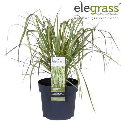 XXL Premium Reitgrass Calamagrostis x acutiflora Eldorado