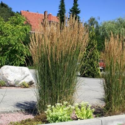 Calamagrostis ( Reitgras ) - x acutiflora 'Karl Foerster'