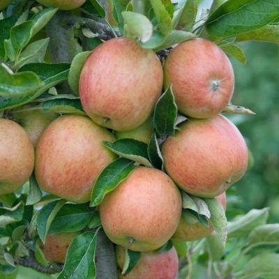 Herbstapfel 'Braeburn' Malus 'Braeburn'