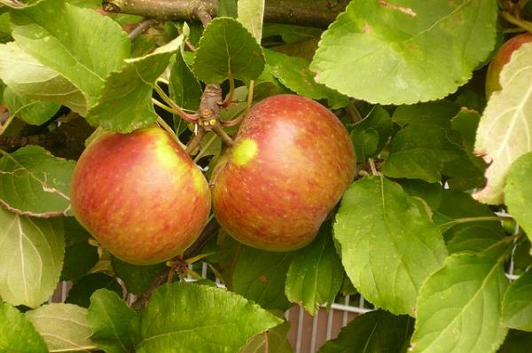 Apfelbaum Herbstapfel 'Elstar Malus