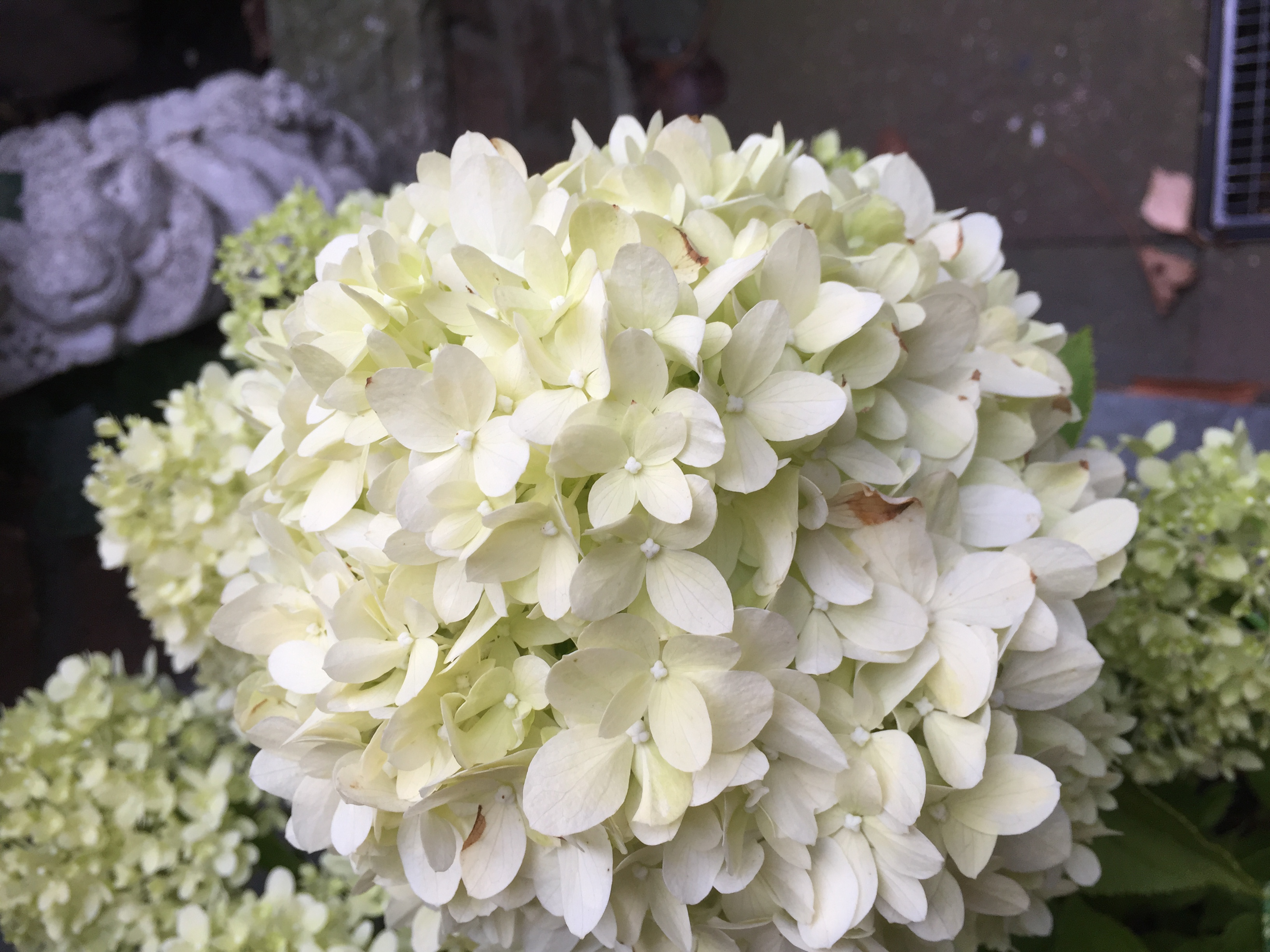 rispenhortensie 39 limelight 39 hydrangea paniculata online kaufen. Black Bedroom Furniture Sets. Home Design Ideas