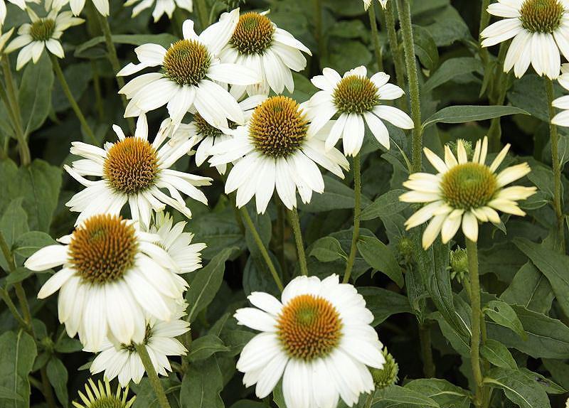 sonnenhut echinacea purpurea 39 powwow white 39 online kaufen. Black Bedroom Furniture Sets. Home Design Ideas