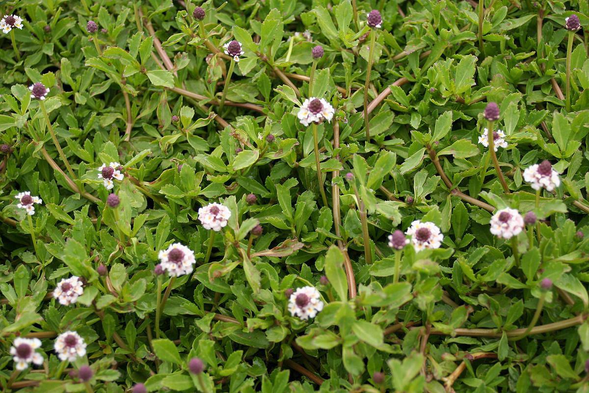 teppich verbene phyla nodiflora winterschutz online kaufen